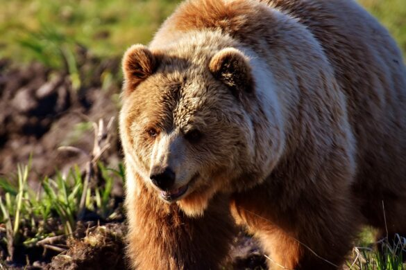 european brown bear 2193729 960 720